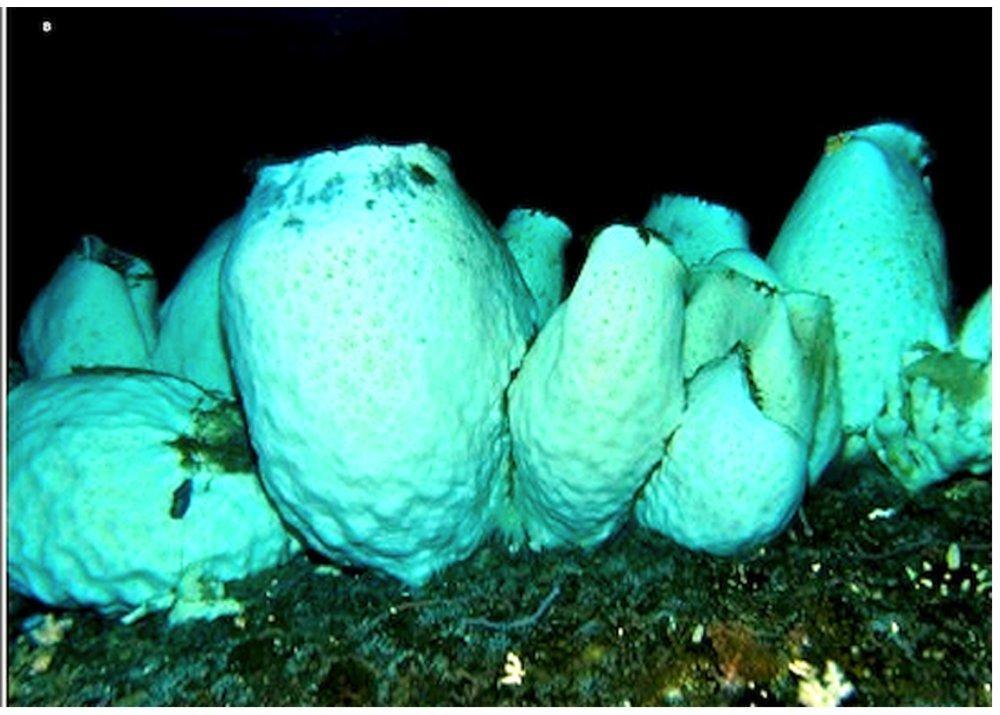 Anoxycalyx joubini