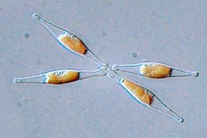 Phaeodactylum tricornutum