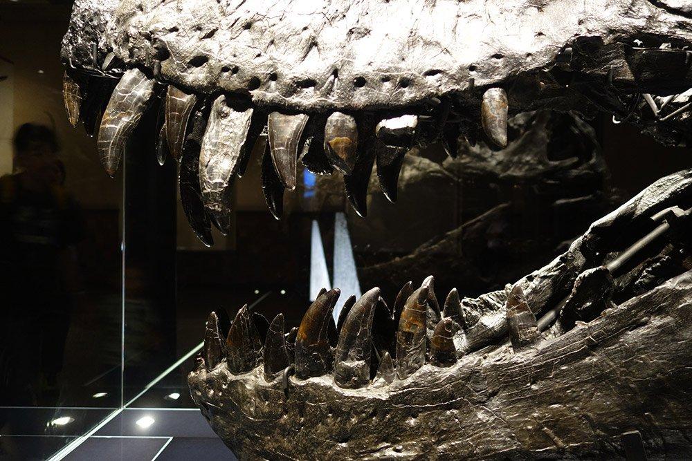 T. rex-Zähne