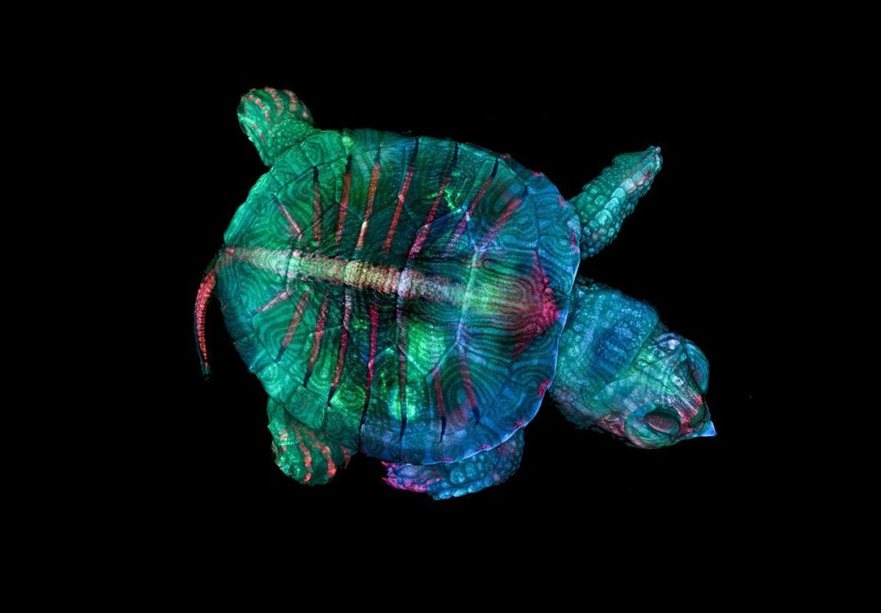 Schildkröten-Embryo