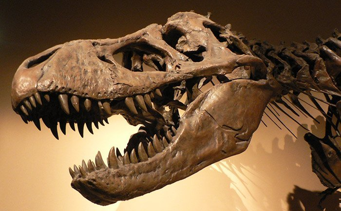 T. rex-Schädel