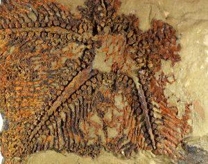 Cantabrigiaster fezouataensis