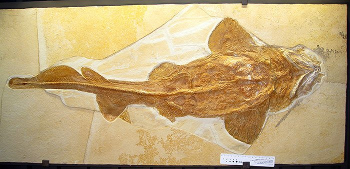 Palaeocarcharias stromeri