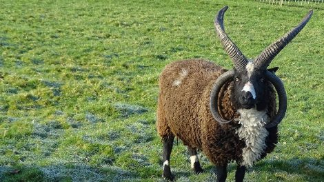 Vierhorn-Schaf