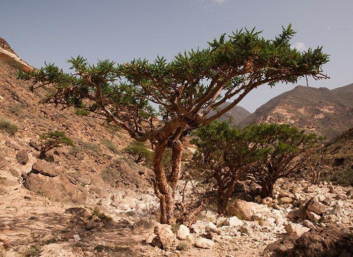 Überalterten Populationen der Boswellia-Bäume droht der