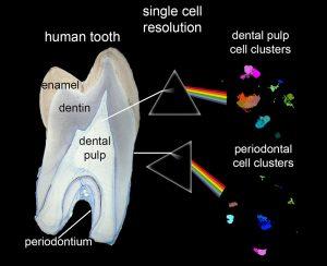 Zahnzellen